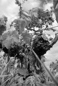 Au pied de la vigne