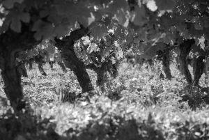 A l'ombre de la vigne