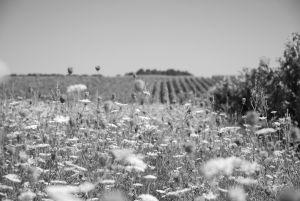 Le champs des cigües